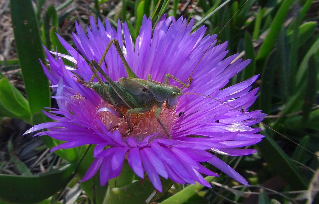 A grasshopper enjoying a morning snack.