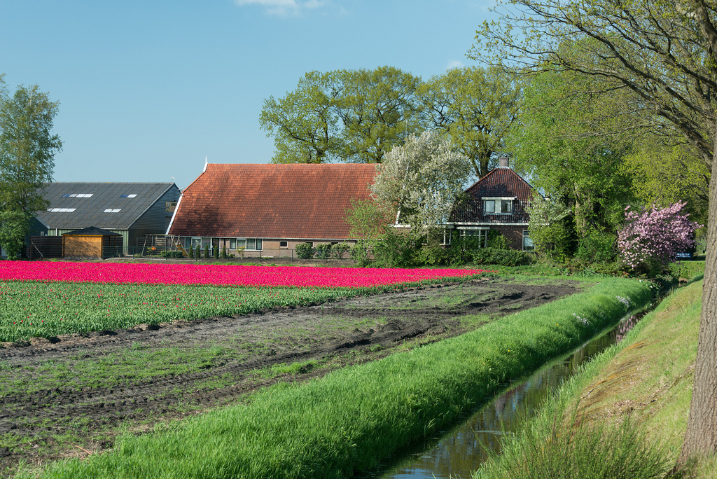 It looks like someone drew a line on this photo with a neon-pink magic marker, but these are tulips. Wow!